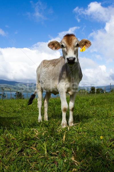 Tejgazdaság tehén testtartás fiatal élvezi napsütés Stock fotó © wollertz
