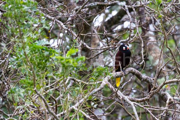 The black oropendola -Psarocolius guatimozinus Stock photo © wollertz