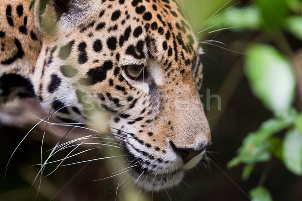 Jaguar close up Stock photo © wollertz