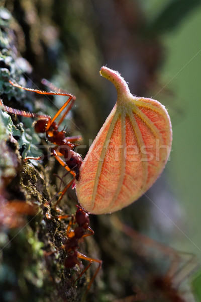 Leaf cutter ants Stock photo © wollertz