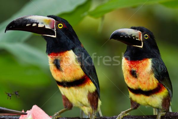 Méret esőerdő Belize utazás piros fekete Stock fotó © wollertz