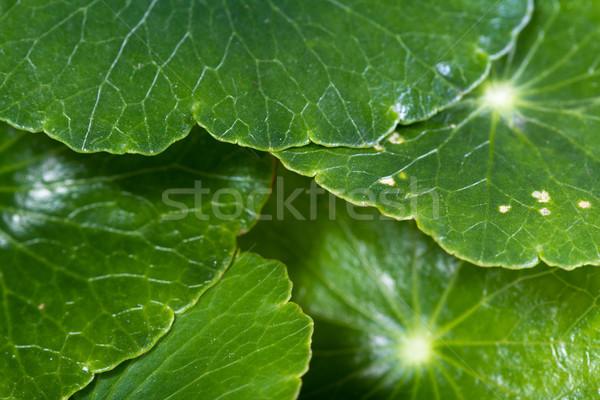 Arany érme fű közelkép természetes zöld levél Stock fotó © wollertz