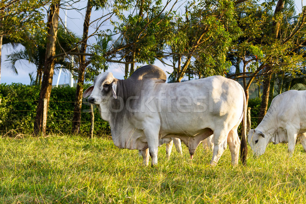 Stock photo: brahman cattle - Bos Indicus