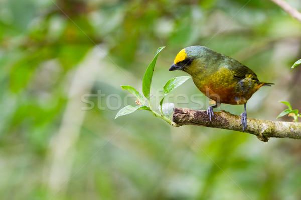 Stock fotó: Olajbogyó · gyönyörű · dzsungel · Belize · madár · zöld