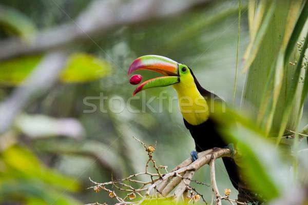Keel billed toucan Stock photo © wollertz