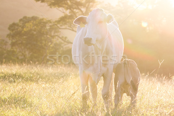 brahman cattle - Bos Indicus  Stock photo © wollertz