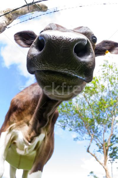 Zuivelfabriek koe jonge genieten zonneschijn Stockfoto © wollertz