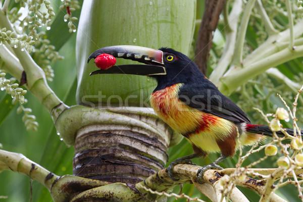 Közelkép esőerdő Belize utazás piros fekete Stock fotó © wollertz