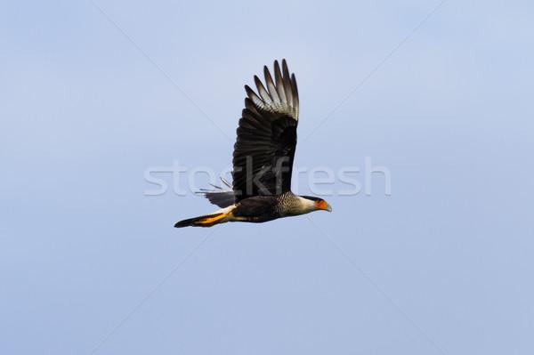 Northern crested caracara - caracara cheriway  Stock photo © wollertz