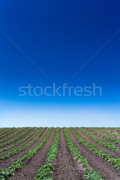 Newly Planted Artichoke Field Stock photo © wolterk
