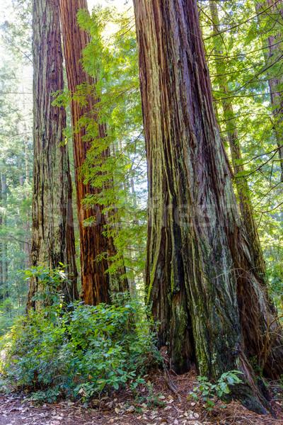 Stoją California sekwoja sosny światło słoneczne Zdjęcia stock © wolterk