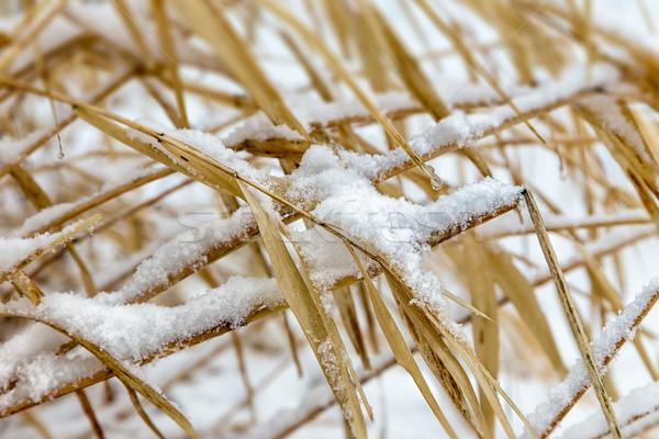 Nativo selvatico erba peso neve di recente Foto d'archivio © wolterk