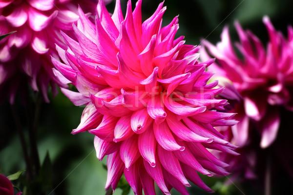 горячей розовый георгин макроса природы лист Сток-фото © wolterk