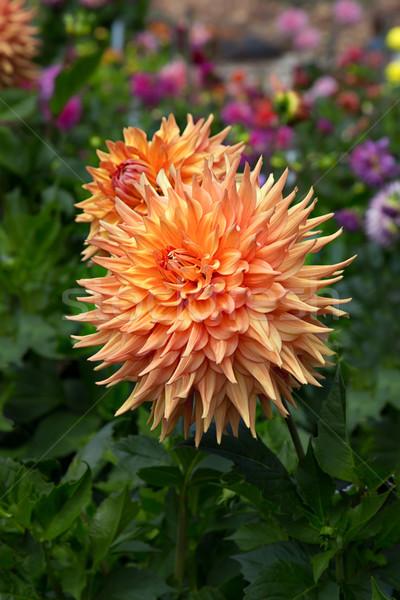 Orange Dahlia Stock photo © wolterk