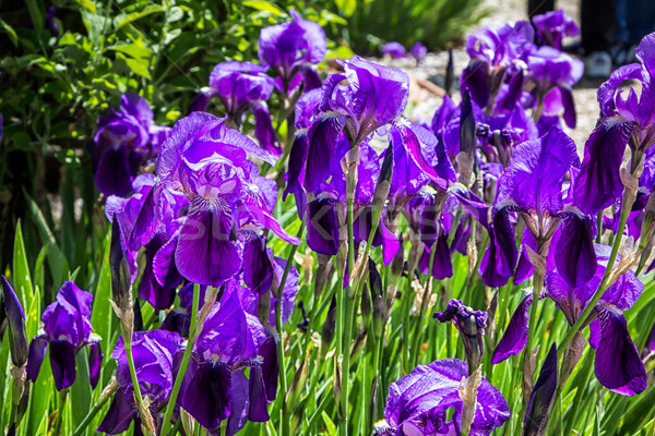 Bed of Purple iris Stock photo © wolterk