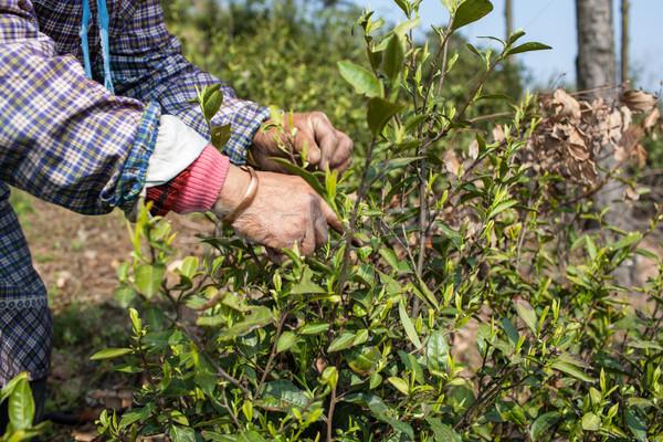 чай работник женщины рабочие осторожный Сток-фото © wxin