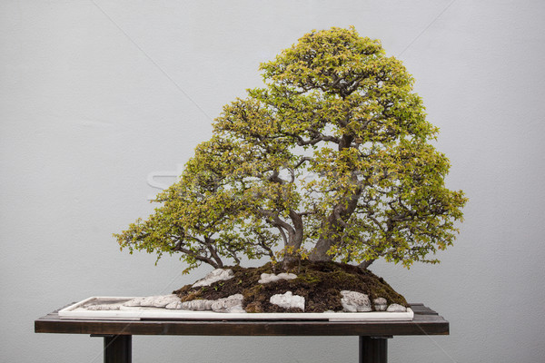 bonsai plants Stock photo © wxin