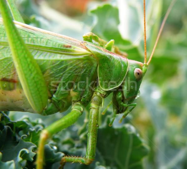 Inseto foto macro pormenor verde olhos Foto stock © X-etra