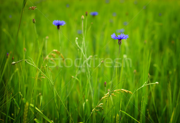 árpa mező részlet zöld kék virágok Stock fotó © X-etra