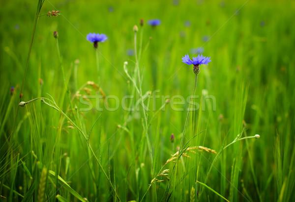 Cevada campo pormenor verde azul flores Foto stock © X-etra
