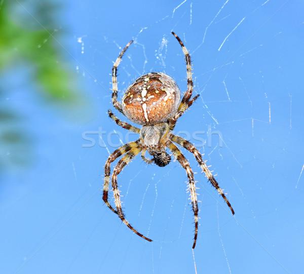 SpiderAraneus diadematus Stock photo © X-etra