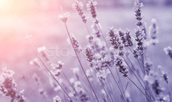 Pormenor roxo belo verão flores sol Foto stock © X-etra