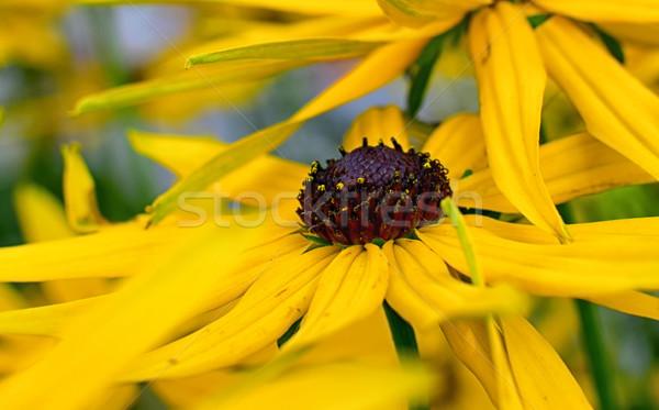 Amarelo flor brilhante preto flores jardim Foto stock © X-etra
