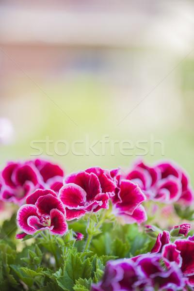 красивой розовый фиолетовый цветы саду цветок Сток-фото © x3mwoman
