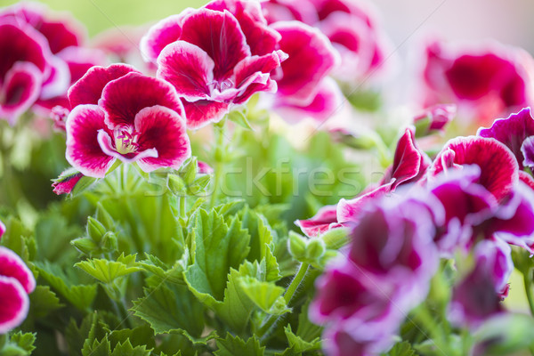 Beautiful pink and violet geranium flowers in the garden Stock photo © x3mwoman