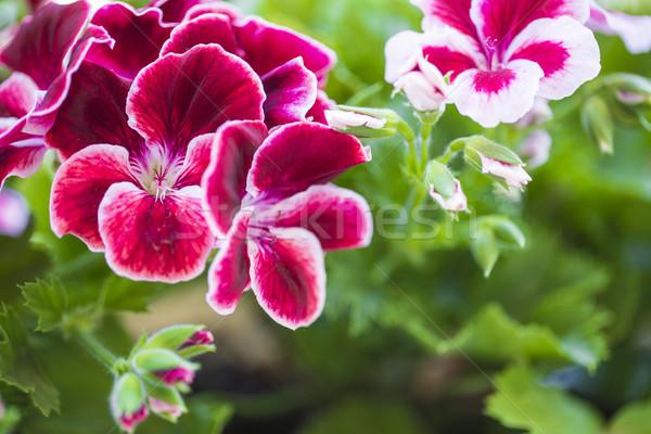 ボルドー 花 孤立した 緑 花 ストックフォト © x3mwoman