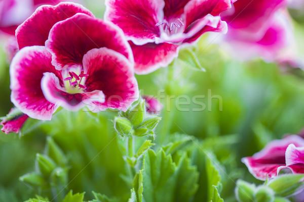 красивой розовый фиолетовый цветы саду природы Сток-фото © x3mwoman