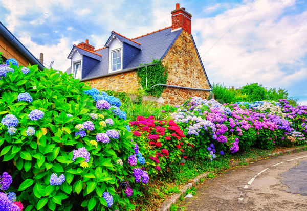 Colorful Hydrangeas flowers in a small village, Brittany, France Stock photo © Xantana