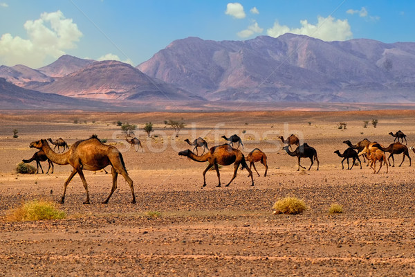 Dromedary camels in Sahara, Morocco, Africa Stock photo © Xantana