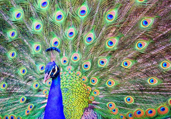 Erkek tavuskuşu dışarı tüyler kuyruk mavi Stok fotoğraf © Xantana