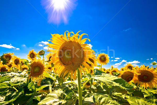 Sunflower field under blue sky and sun view Stock photo © xbrchx