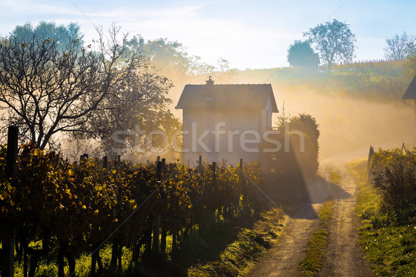 Sun rays in morning fog vineyard view Stock photo © xbrchx