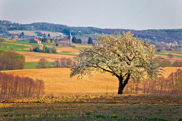 Samotny kwiat drzewo region Chorwacja wiosna Zdjęcia stock © xbrchx