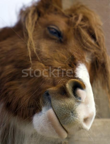 Lächelnd Pferd Porträt Fuchs weiß Nase Stock foto © Ximinez