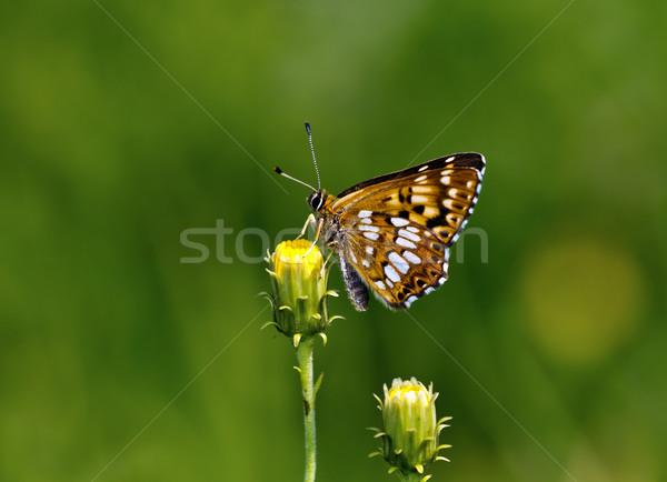 Duke of Burgundy (Hamearis lucina) butterfly Stock photo © Ximinez