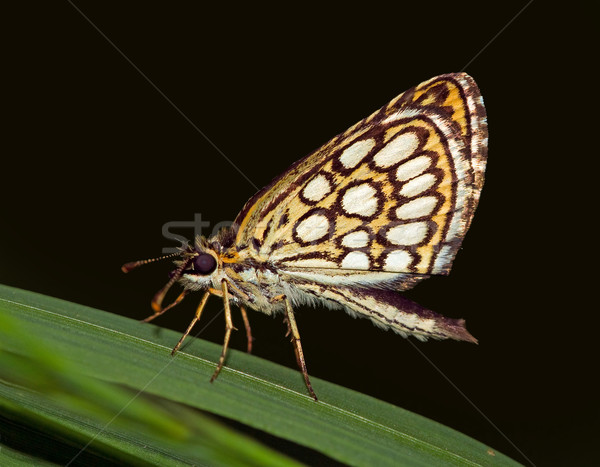 Large chequered skipper (Heteropteris morpheus) butterfly Stock photo © Ximinez