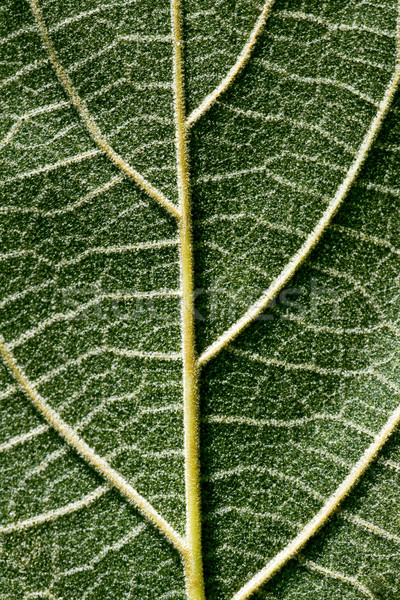 Pubescent back side of a Paulownia leaf Stock photo © Ximinez