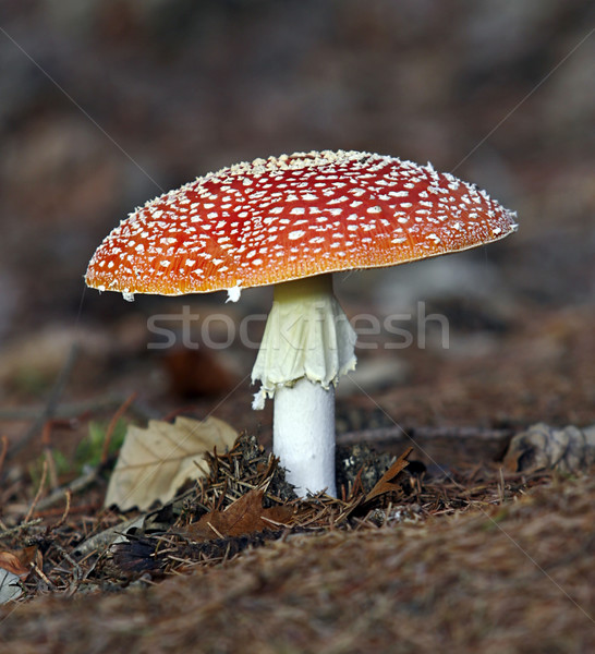 Fly agaric Stock photo © Ximinez