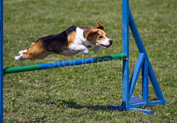 Beagle flying over an obstacle Stock photo © Ximinez