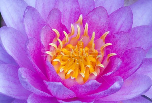 воды Лилия Purple цветок лет Сток-фото © Ximinez