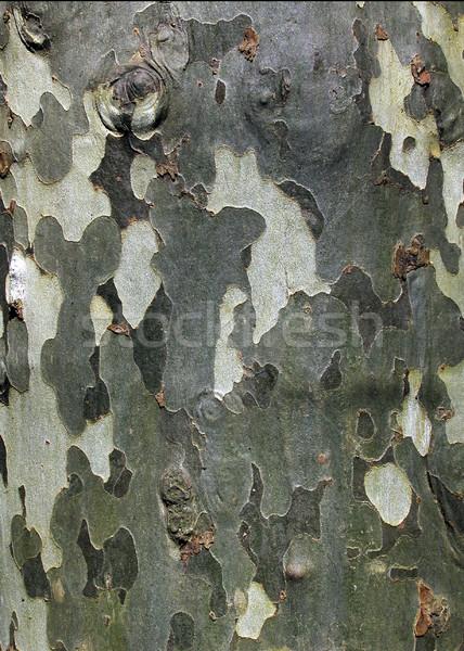 Plane tree (Platanus x hybrida) bark  Stock photo © Ximinez