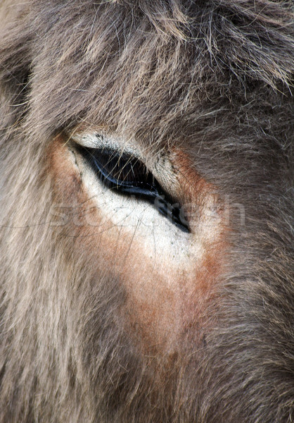 Donkey portrait  Stock photo © Ximinez