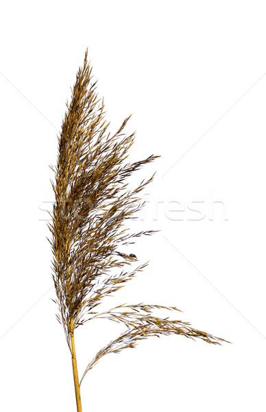 Dry panicle of a single reed Stock photo © Ximinez