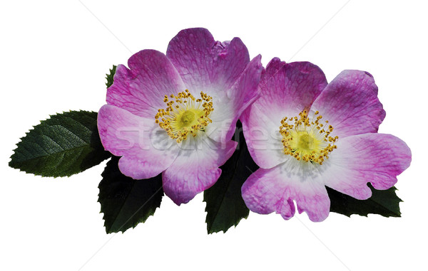 Wild roses (Rosa canina) Stock photo © Ximinez