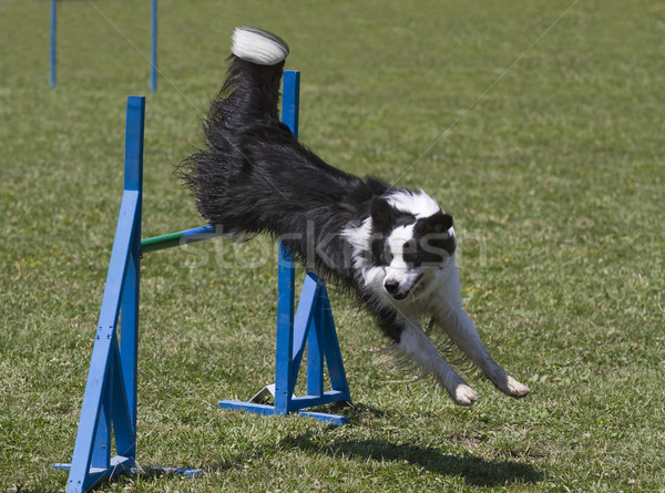 Stock photo: Border collie jumps hurdles