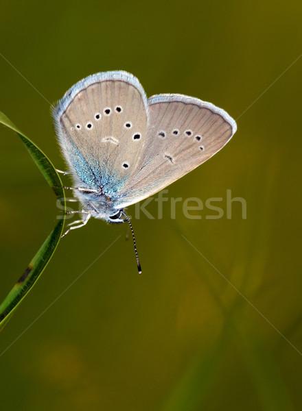 Groß blau Schmetterling erschossen Blatt Stock foto © Ximinez